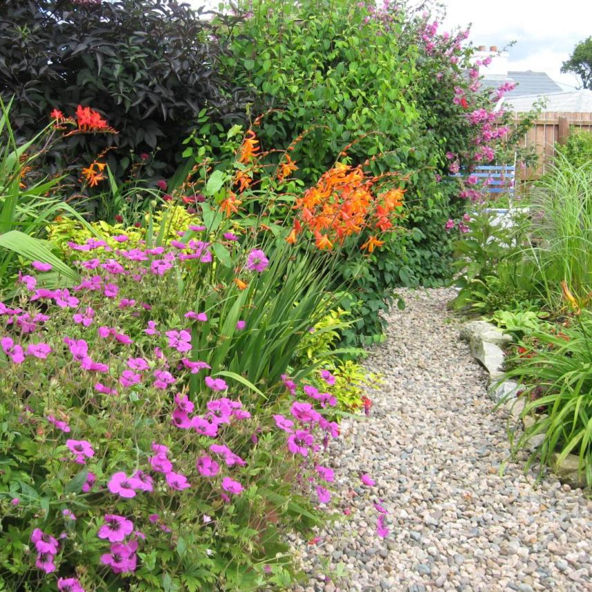 garden path with geraniums and crocosmia
