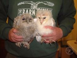 owlet-id-ageing_tawny-barn-owlets-250x188